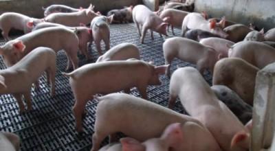 Criadores de suínos, ovinos e caprinos devem cadastrar rebanhos na Idaron a partir de agosto