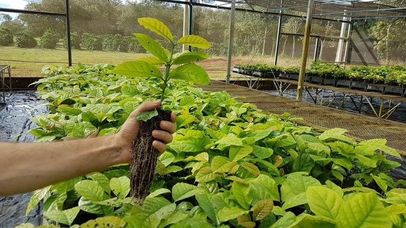Embrapa abre seleção para viveiristas interessados em produzir e vender mudas de novas cultivares do café