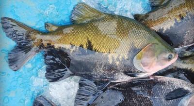 Produção anual de peixe em Rondônia segue em alta e chega a 95 mil toneladas