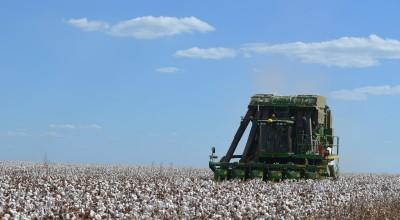 Começa colheita do 1° algodão safrinha em Rondônia