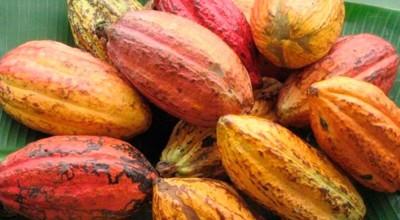 Rondônia é o terceiro maior produtor de Cacau do Brasil