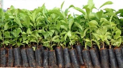 Aprovado investimento para o melhoramento genético do café em Rondônia