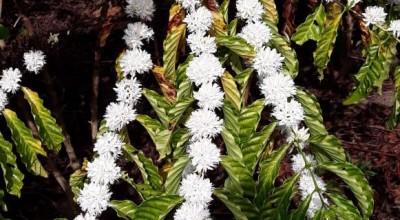 Em Rondônia, florada do café indica que os frutos estão prestes a surgir