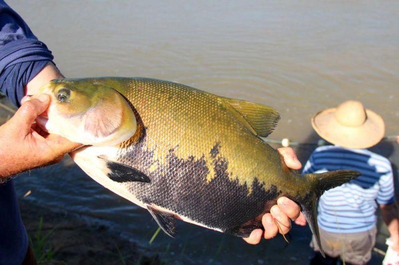 Rondônia entra em período de defeso do tambaqui e pesca é proibida até março de 2020