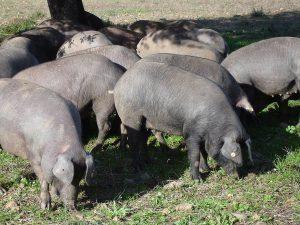 Porcos de quase 100 quilos são furtados na área rural de Vilhena