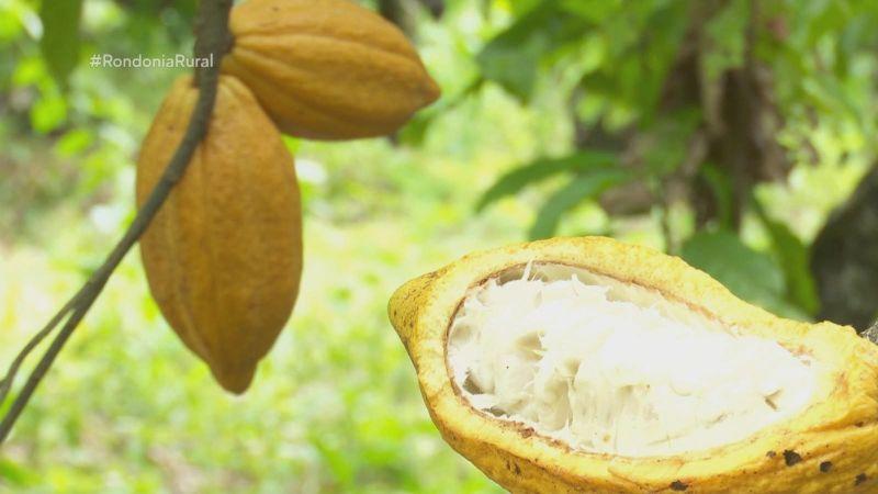 Cultivo do cacau no sistema agroflorestal é aposta entre produtores de Rondônia