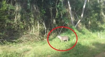 Apesar do avanço da soja e do gado, animais selvagens ainda são vistos com freqüência no Cone Sul