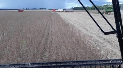 Começa colheita de soja na região de Cerejeiras; índices de produtividade surpreendem agricultores