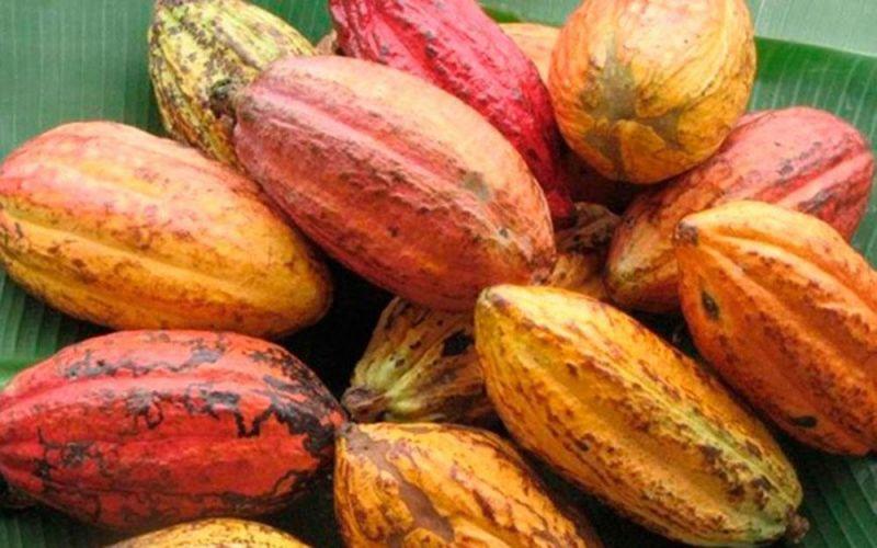 Revitalização e fortalecimento da cadeia produtiva do cacau aumenta a produção em Rondônia