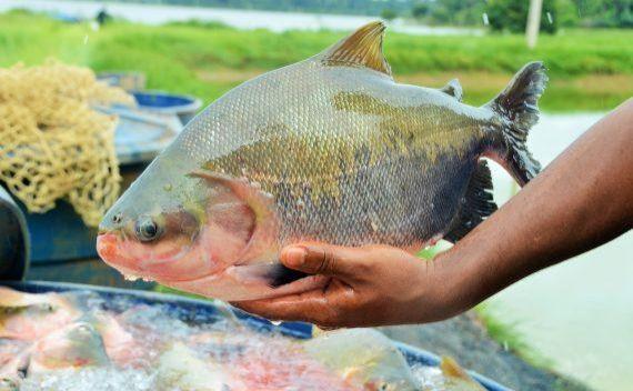 Programa Peixe Saudável deve fomentar piscicultura em Rondônia