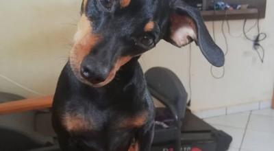Utilidade Pública: Cachorrinho Toddy está desaparecido
