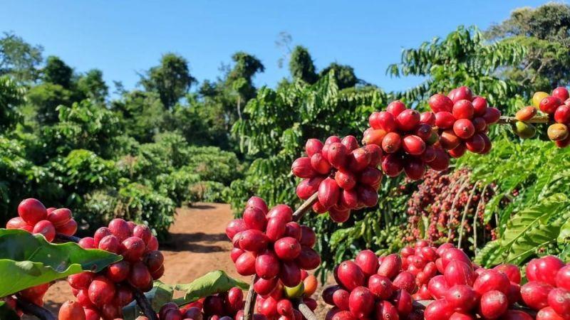 Café robusta recebe selo de identificação geográfica em Rondônia