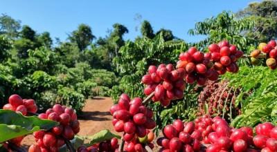 Coronavírus: Secretaria orienta agricultores durante período de colheita do café em RO