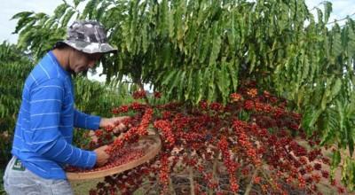 Custo da produção de café em Rondônia será foco de pesquisa
