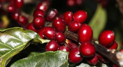 Produção de café cria alternativa ao desmatamento no Norte do País