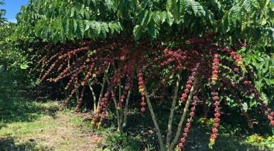 Artigo – Ciência e evolução social na cafeicultura Amazônica