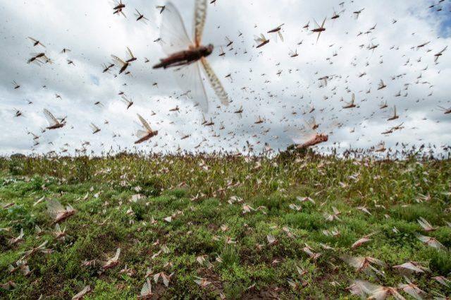 Nuvem de gafanhotos pode chegar ao Sul de Rondônia?