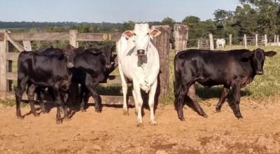 Posseiros invadem lote em Chupinguaia e soltam gado de proprietário na estrada; mulher estaria incentivando invasão