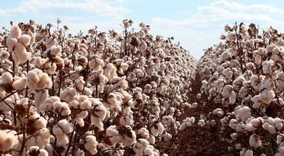 Rondônia avança no plantio de algodão