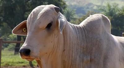 Arroba do boi gordo tem nova alta no preço e chega a R$ 233 no interior de Rondônia