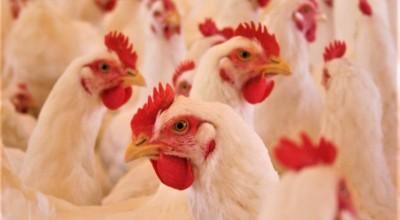 Brasil cobra retirada de embargo ao comércio de frango