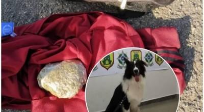 Cão treinado em canil de Colorado do Oeste encontra drogas em bagagem