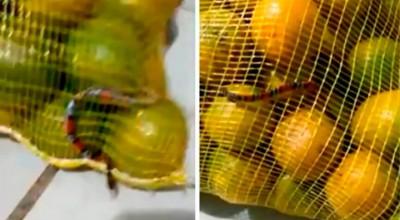 Mogi das Cruzes: Mulher encontra cobra coral em saco de laranjas