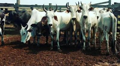 Polícia Civil de Urupá recupera gado furtado de fazenda em Alvorada do Oeste