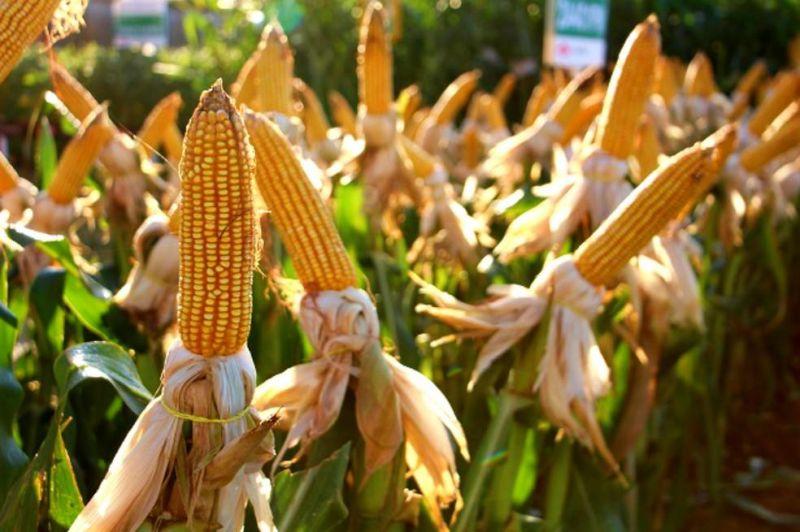 Rondônia colhe quase 1 milhão de toneladas de milho na safra 2020