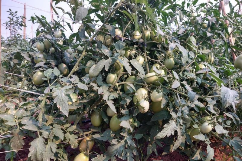 Tomate produzido em Rolim de Moura é exportado para Manaus