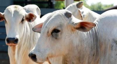 Com 1,1 milhão de cabeças, rebanho bovino de Porto Velho se torna o 4° maior do Brasil