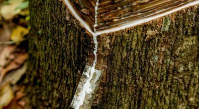 Reservas extrativistas geram 20 toneladas de borracha em 2020