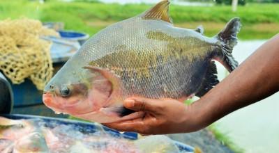 Ariquemes é o terceiro maior produtor de peixe do país