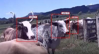 Algoritmo identifica bovinos individualmente no campo