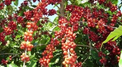 Colheita do café robusta safra 2021/22 deve ser iniciada em abril