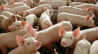 As exportações de carne suína registram maior volume mensal