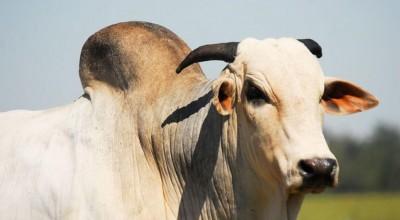 Arroba do boi gordo ultrapassa R$ 300 em Chupinguaia, RO; veja a cotação divulgada pela Emater