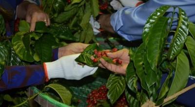 Cafés especiais: Boas praticas levam a bons resultados nos Robustas Amazônicos