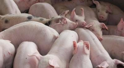 Carne suína seguem em alta e produção deve ser destinada ao mercado externo