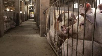 Em Corumbiara, ladrão abateu dois porcos reprodutores,