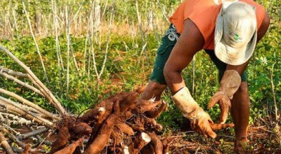 Mandioca: Colheita é retomada, e queda nas cotações se intensifica