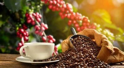 Nova Mamoré é destaque na produção de café