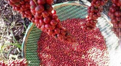 237 cafeicultores participam da 6ª edição do Concafé