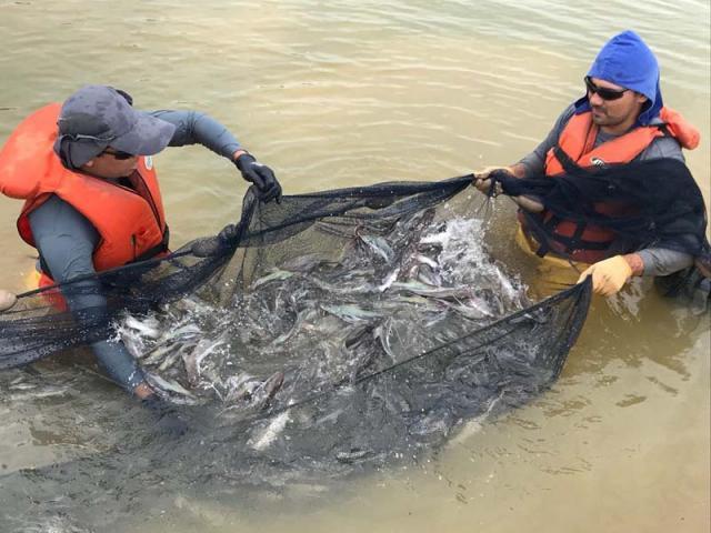 Piramutaba em cativeiro é opção para piscicultura