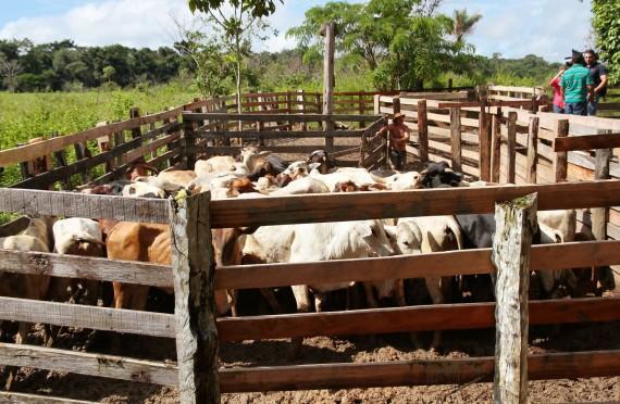 Idaron confirma vacinação de mais 14,5 milhões de cabeças de bovinos e bubalinos em Rondônia