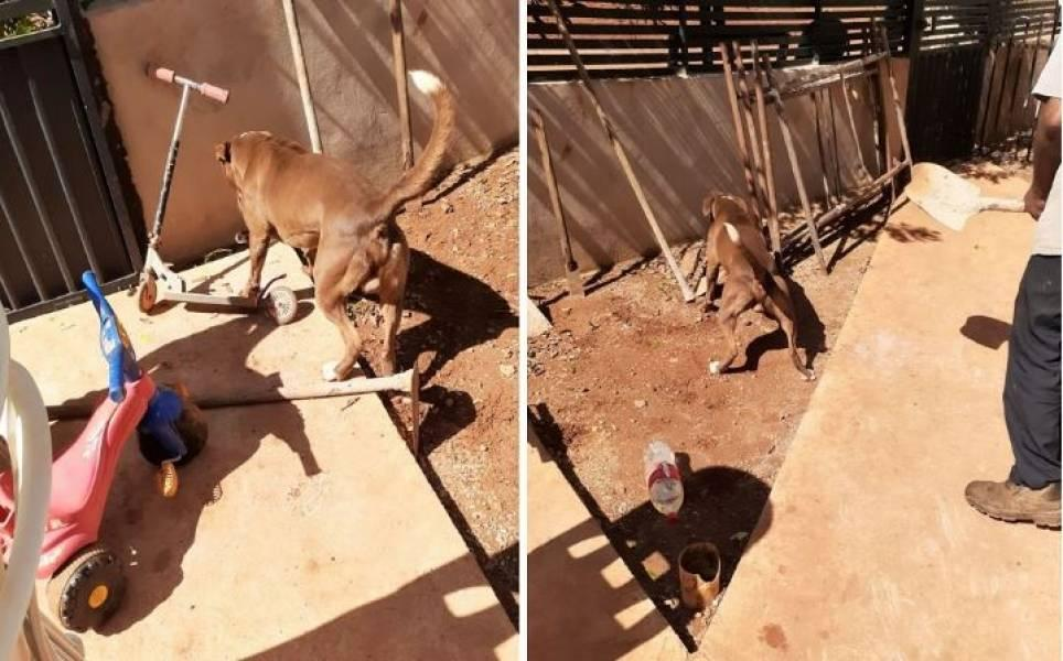 Em cidade do MT, cão da raça pit bull é picado por cobra venenosa e salva menina de 05 anos que seria atacada