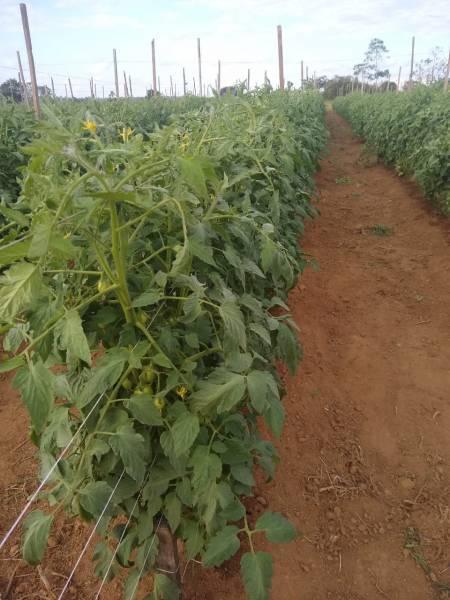 Apesar de longa estiagem, casal de empreendedores rurais cultiva tomate e alface com irrigação