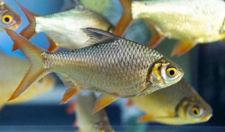 Instituto de Pesca desenvolve método mais barato de criação de lambari