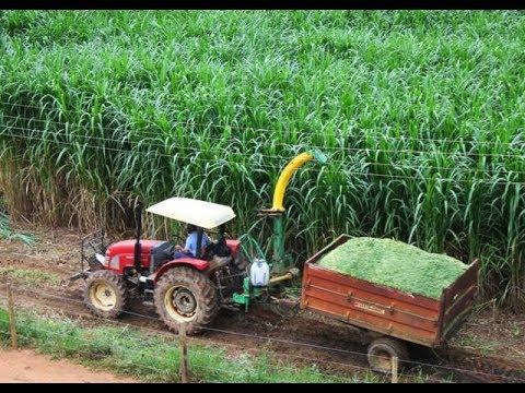 Produtores de Costa Marques receberão mudas de capiaçu