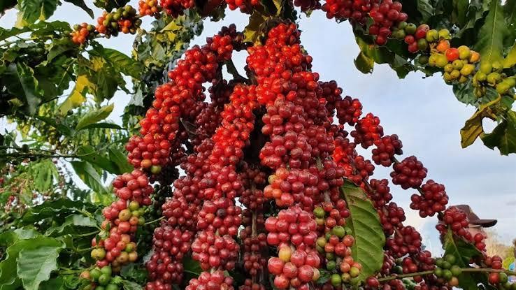 O Início da colheita do café de Rondônia é comemorado em Cacoal